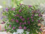 Japanspiere Proven Winners ® Double Play ® Artisan', 30-40 cm, Spiraea japonica Proven Winners ® Double Play ® Artisan', Containerware