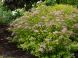 Japanspiere Proven Winners ® 'Double Play ® Big Bang', 5-10 cm, Spiraea japonica Proven Winners ® 'Double Play ® Big Bang', Containerware