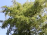 Kaisererle 'Imperialis', Stamm 80 cm, Alnus glutinosa 'Imperialis', Stämmchen