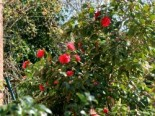 Kamelie rot, 20-25 cm, Camellia rot, Topfware
