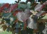 Kanadischer Judasbaum 'Merlot', 40-60 cm, Cercis canadensis 'Merlot', Containerware