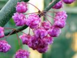 Kanadischer Judasbaum 'Pink Pom Poms', 40-60 cm, Cercis canadensis 'Pink Pom Poms', Containerware