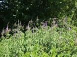 Kandelaberehrenpreis 'Lavendelturm', Veronicastrum virginicum 'Lavendelturm', Topfware