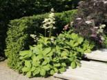 Kastanienblättriges Schaublatt, Rodgersia aesculifolia, Topfware