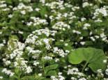 Kaukasus-Vergissmeinnicht 'Betty Bowring', Brunnera macrophylla 'Betty Bowring', Topfware