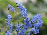 Kaukasus-Vergissmeinnicht 'Langtrees', Brunnera macrophylla 'Langtrees', Topfware
