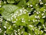 Kaukasus-Vergissmeinnicht 'Mr Morse' ®, Brunnera macrophylla 'Mr Morse' ®, Topfware
