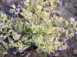 Kaukasus-Vergissmeinnicht 'Hadspen Cream', Brunnera macrophylla 'Hadspen Cream', Topfware
