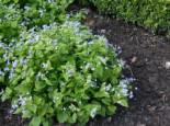 Kaukasus-Vergissmeinnicht, Brunnera macrophylla, Topfware