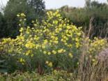 Kellermanns Sonnenblume, Helianthus x kellermannii, Topfware