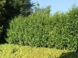 Kirschlorbeer / Lorbeerkirsche 'Genolia' ®, 60-80 cm, Prunus laurocerasus 'Genolia' ®, Containerware
