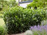 Kirschlorbeer / Lorbeerkirsche 'Obelisk' ®, 15-30 cm, Prunus laurocerasus 'Obelisk' ®, Topfware