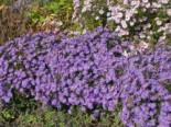 Kissen-Aster 'Blaue Lagune', Aster dumosus 'Blaue Lagune', Topfware