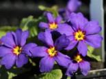 Kissenprimel, Primula x pruhoniciana, Topfware