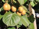 Kiwi 'Jenny' / 'Yennie', 60-100 cm, Actinidia deliciosa 'Jenny' / 'Yennie' (selbstfruchtend), Containerware