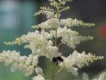Kleine Prachtspiere 'Praecox Alba', Astilbe simplicifolia 'Praecox Alba', Topfware