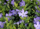 Kleines Garten-Immergrün 'Josefine', 20-40 cm, Vinca minor 'Josefine', Containerware XXL