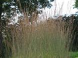 Kleines Pfeifengras 'Dauerstrahl', Molinia caerulea 'Dauerstrahl', Topfware