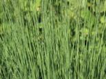 Kleines Pfeifengras 'Edith Dudszus', Molinia caerulea 'Edith Dudszus', Topfware