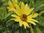 Kleinköpfige Sonnenblume 'Lemon Queen', Helianthus microcephalus 'Lemon Queen', Topfware