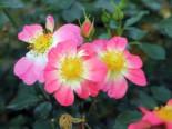 Bodendecker-Rose 'Bienenweide ® Bicolor', Stamm 90 cm, Rosa 'Bienenweide ® Bicolor', Stämmchen
