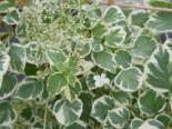 Kletterhortensie 'Silver Lining', 40-60 cm, Hydrangea petiolaris 'Silver Lining', Containerware