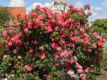 Kletterrose 'Bajazzo' ®, Rosa 'Bajazzo' ® ADR-Rose, Containerware