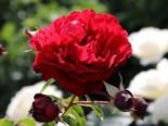 Kletterrose 'Belkanto' ®, Rosa 'Belkanto' ®, Wurzelware
