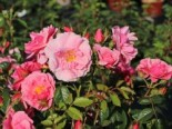 Kletterrose 'Camelot' ®, Rosa 'Camelot' ® ADR-Rose, Wurzelware