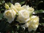 Kletterrose 'Elfe' ®, Rosa 'Elfe' ®, Wurzelware