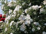 Kletterrose 'Hella', Rosa 'Hella' ADR-Rose, Wurzelware