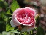 Kletterrose 'Kir Royal' ®, Rosa 'Kir Royal' ®, Containerware