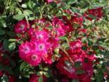 Kletterrose 'Libertas' ®, Rosa 'Libertas' ® ADR-Rose, Containerware
