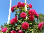 Kletterrose 'Maritim' ®, Rosa 'Maritim' ®, Wurzelware