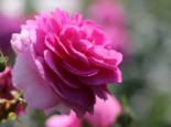 Kletterrose 'Ozeana' ®, Rosa 'Ozeana' ®, Wurzelware