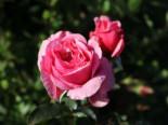 Kletterrose Parfuma ® 'Kiss me Kate' ®, Rosa Parfuma ® 'Kiss me Kate' ®, Containerware
