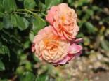Kletterrose 'Peach Melba' ®, Rosa 'Peach Melba' ® ADR-Rose, Wurzelware