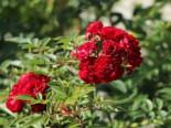Kletterrose 'Perennial Domino ®', Rosa 'Perennial Domino ®', Containerware