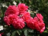 Kletterrose 'Rosarium Uetersen' ®, Rosa 'Rosarium Uetersen' ®, Containerware