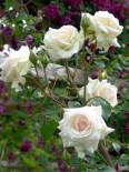 Kletterrose 'Schwanensee' ®, Rosa 'Schwanensee' ®, Wurzelware