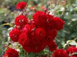Kletterrose Starlet® Rose 'Natalie' ®, Rosa Starlet® Rose 'Natalie' ®, Topfware