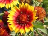 Kokardenblume 'Arizona Sun', Gaillardia x grandiflora 'Arizona Sun', Containerware