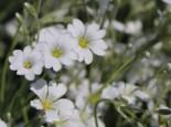 Kompaktes Hornkraut 'Silberteppich', Cerastium tomentosum 'Silberteppich', Topfware