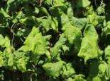 Korkenzieherhasel auf Stamm, Stamm 80 cm, Corylus avellana 'Contorta' Stamm, Stämmchen