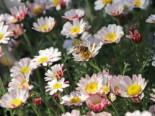Kreisblume 'Silberkissen', Anacyclus pyrethrum var. depressus 'Silberkissen', Topfware