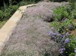 Kriechendes Schleierkraut 'Rosenschleier', Gypsophila repens 'Rosenschleier', Containerware