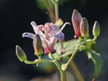 Krötenlilie, Tricyrtis formosana, Topfware
