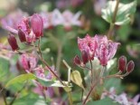 Krötenlilie 'Purple Beauty', Tricyrtis formosana 'Purple Beauty', Topfware
