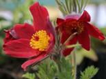 Küchenschelle 'Pinwheel Rot' ®, Pulsatilla vulgaris 'Pinwheel Rot' ®, Topfware