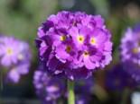 Kugel-Primel, blauviolett, Primula denticulata, blauviolett, Topfware